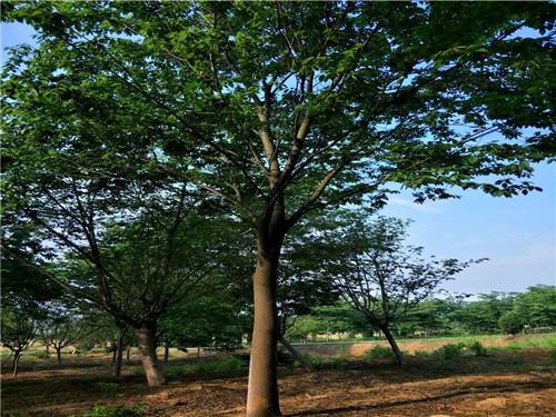 铜川10到50公分榉树_24小时服务