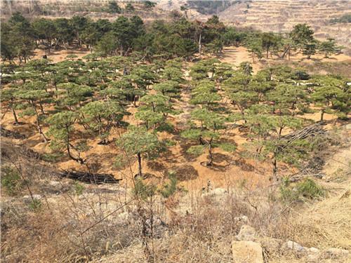 高要景观松基地养护