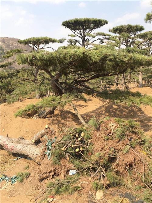 澄海松树培育