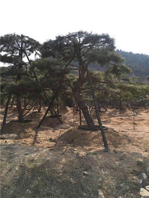 茂名造型黑松