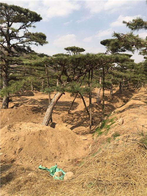 巢湖造型松基地亚博国际真是可靠吗